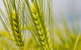 El trigo nuevo se encuentra presionado ante la cautela de compradores y vendedores